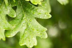 Green leaf of oak covered by water drops of dew. Close-up view Stock Photos