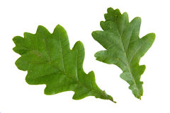 Green leaf of oak isolated on white background Stock Photos