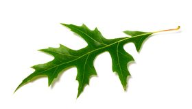 Green leaf of oak (Quercus palustris) on white bac. Kground. Close-up view Stock Photography