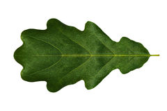Green leaf  oak (symmetrical)  on a white background isolated. Stock Image