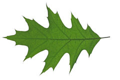 Green leaf of oak tree isolated Stock Photos