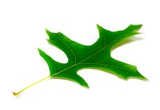 Green leaf of oak. On white background Stock Photos