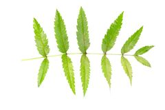 Green Leaf Of A Fern Tree Isolated On White Background. Stock Photos