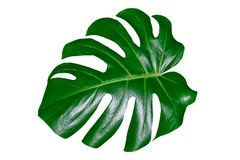 Free Green Leaf Of A Tropical Flower Monstera Royalty Free Stock Images - 131076199