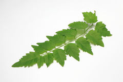 Green Leaf out In Thailand.White Background. Stock Image