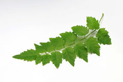 Green Leaf out In Thailand.White Background. Royalty Free Stock Photo
