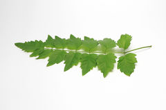 Green Leaf out In Thailand.White Background. royalty free stock image