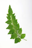 Green Leaf out In Thailand.White Background. Royalty Free Stock Images