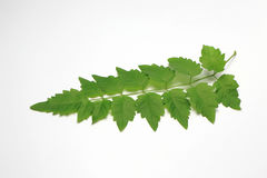 Green Leaf out In Thailand.White Background. stock images