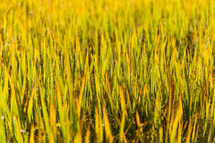 Green leaf of paddy rice in filed of Royalty Free Stock Photo