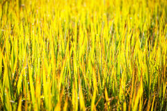 Green leaf of paddy rice in filed Royalty Free Stock Photo