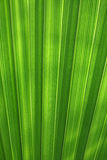 Green leaf palm background. Green leaf palm exotic tropical background abstract nature texture Stock Photography