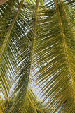 Green leaf palm Royalty Free Stock Images