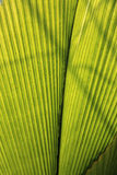 Green leaf palm Royalty Free Stock Image