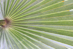 Green leaf of palm. Royalty Free Stock Images