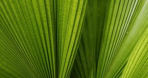Green leaf palm texture. Abstract pattern of foliage plant in nature stock footage