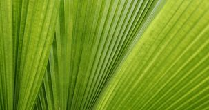 Green leaf palm texture. Abstract pattern of foliage plant in nature stock video