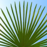 Green leaf of a palm tree on the background of blue sky Royalty Free Stock Image