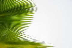 Green leaf of palm tree background. Green leaves of palm tree on white background Stock Photography