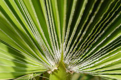 Green leaf of palm tree on blue background Stock Photography