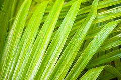 Green leaf of palm tree closeup. nature Stock Image