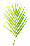 Green leaf of palm tree isolated Royalty Free Stock Photo