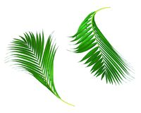 Green leaves of palm tree isolated on white background Royalty Free Stock Photography