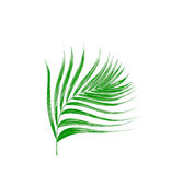 Green leaf of palm tree isolated on white Royalty Free Stock Image