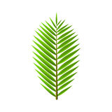 Green leaf from palm tree isolated on white background. Tropical, exotic plant. Cartoon style Stock Image