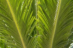Green leaf of palm tree. palm leafs stock image