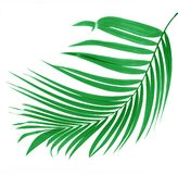 Green leaf of palm tree Royalty Free Stock Photo