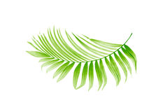 Green leaf of palm tree Royalty Free Stock Image