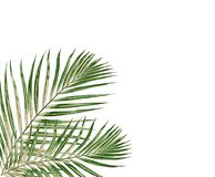 Green leaf of palm tree on white background Stock Photos