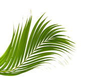 Green leaf of palm tree on white. Green leaves of palm tree isolated on white background Royalty Free Stock Photo
