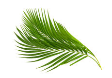 Green leaf of palm tree on white. Green leaves of palm tree isolated on white background Stock Photos