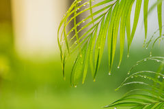 Green leaf palm wet Royalty Free Stock Photo