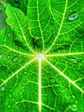 Green leaf from Papaya tree Royalty Free Stock Photography