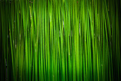 Green leaf of Papyrus abstract Stock Image