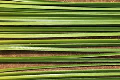Green leaf of Papyrus Stock Images