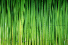 Green leaf of Papyrus abstract background Stock Photos
