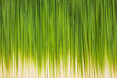 Green leaf of Papyrus background Royalty Free Stock Images