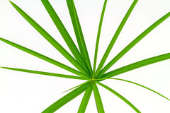 Green Leaf Papyrus Stock Image