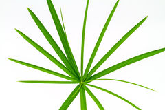 Green Leaf Papyrus. On white background Royalty Free Stock Photos