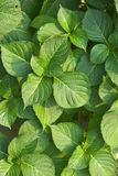 Green Leaf Pattern. Summer Green Leaf Pattern as Design Element Royalty Free Stock Images