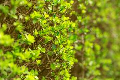 Green leaf pattern on spring bush, nature concept.  royalty free stock images