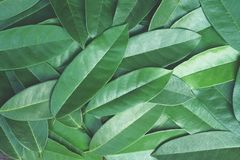 Green leaf pattern texture background, tropical nature wallpaper concept. Copy space royalty free stock photography