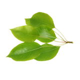 Green leaf pear isolated on white Stock Photos