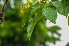 Green leaf Photography. TAMIL NADU, INDIA royalty free stock image