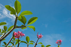 Green leaf and pink flower. With  blue sky background Royalty Free Stock Photo