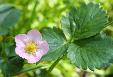 Strawberry flower. Stock Images